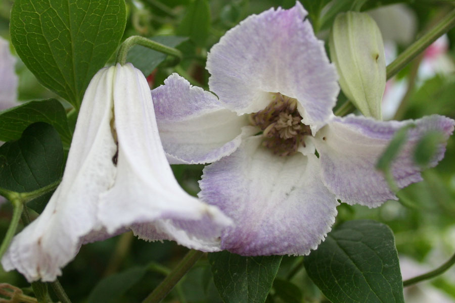 Clematis Texensis 'Radiance'