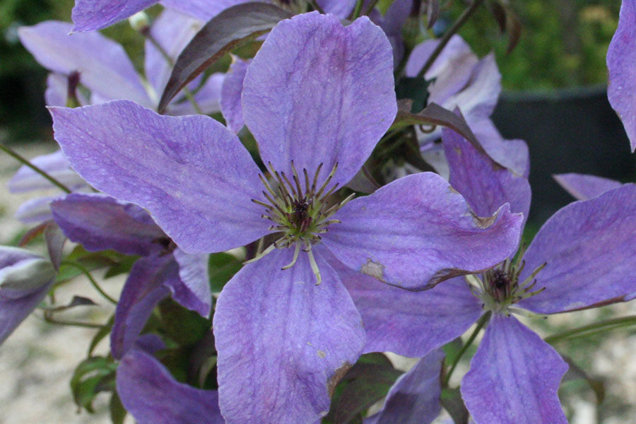 Clematis Viticella 'SUNNY SKY'