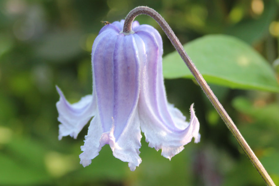 Clematis Integ. 'Swedish Bells'