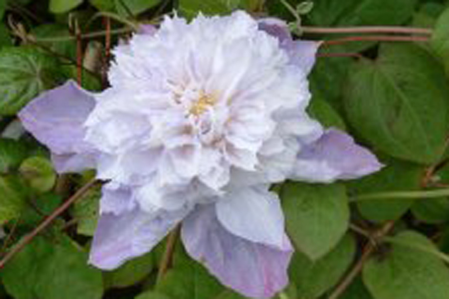 Clematis 'Veronica's Choice'