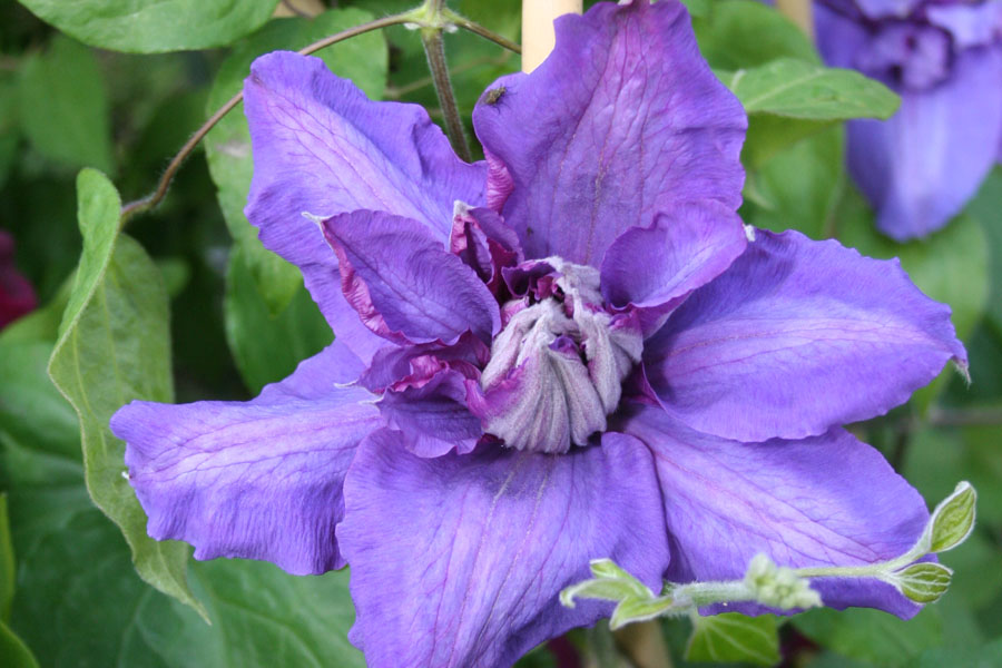 Clematis 'Vyvyan Penell'