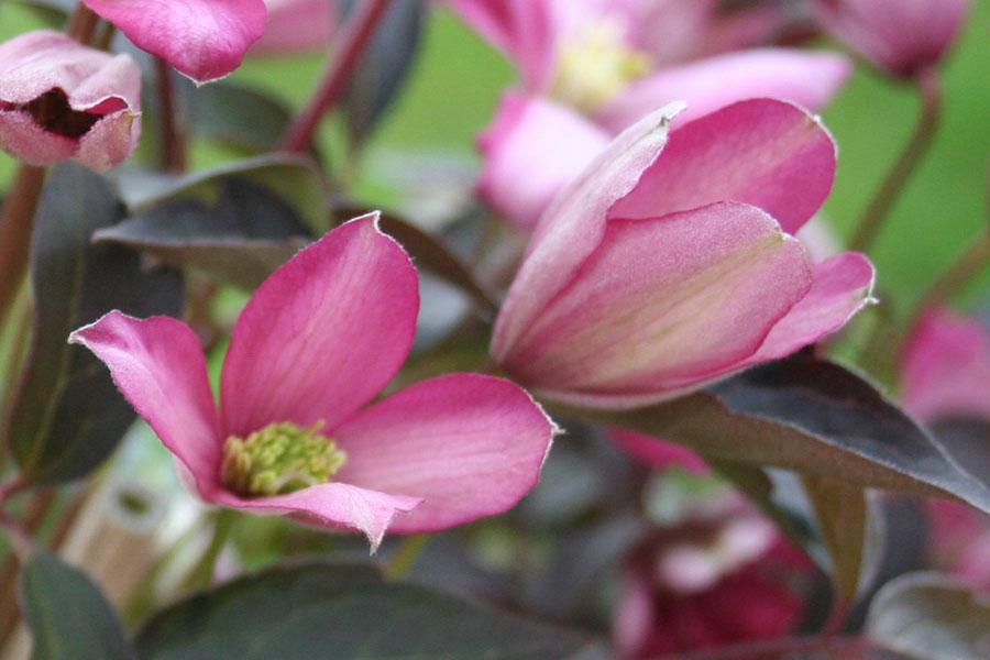Clematis Montana 'Warwikshire Rose'