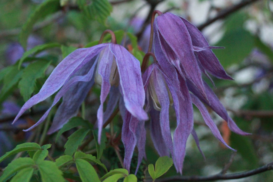 Clematis Alpina 'Blue Bird'