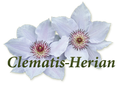 Clematis Herian