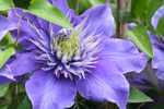 Clematis 'CRYSTAL FOUNTAIN' (TM Fairy Blue(N)
