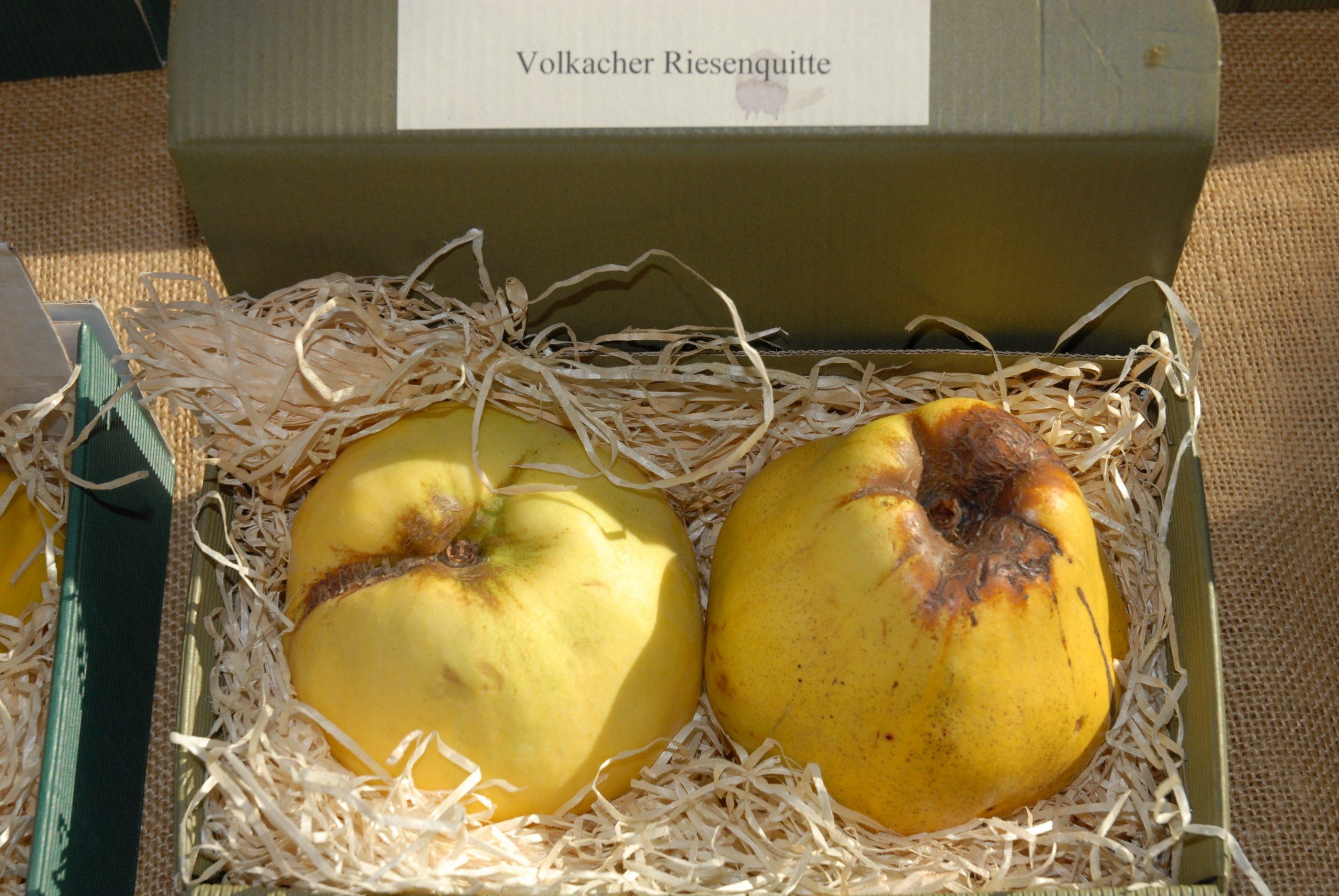 Quitte 'Volkacher Riesenquitte'