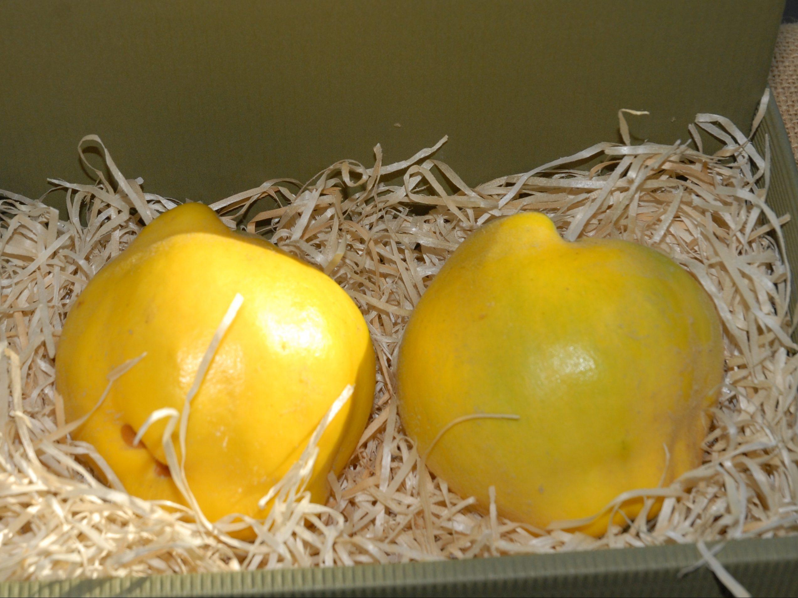Quitte 'Bereczki' – Apfelförmig