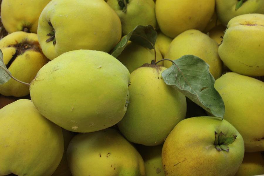 Quitte 'Limon Ayvasi'