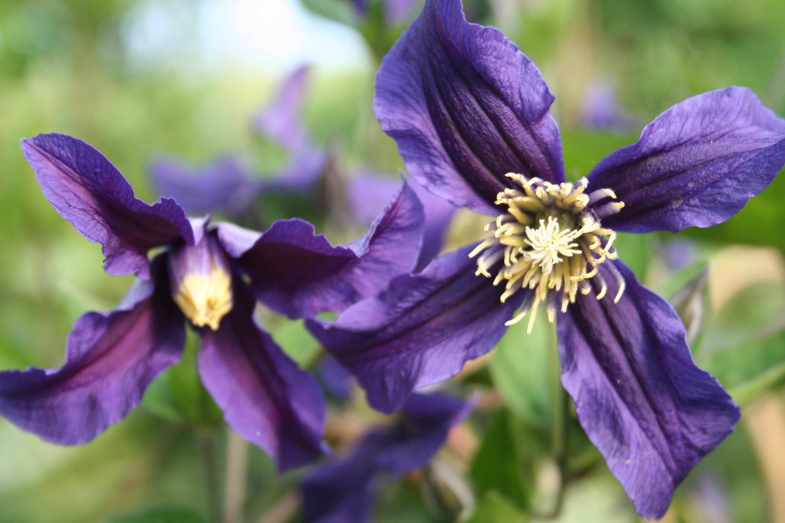 Clematis Integ. 'Blue Sensation'