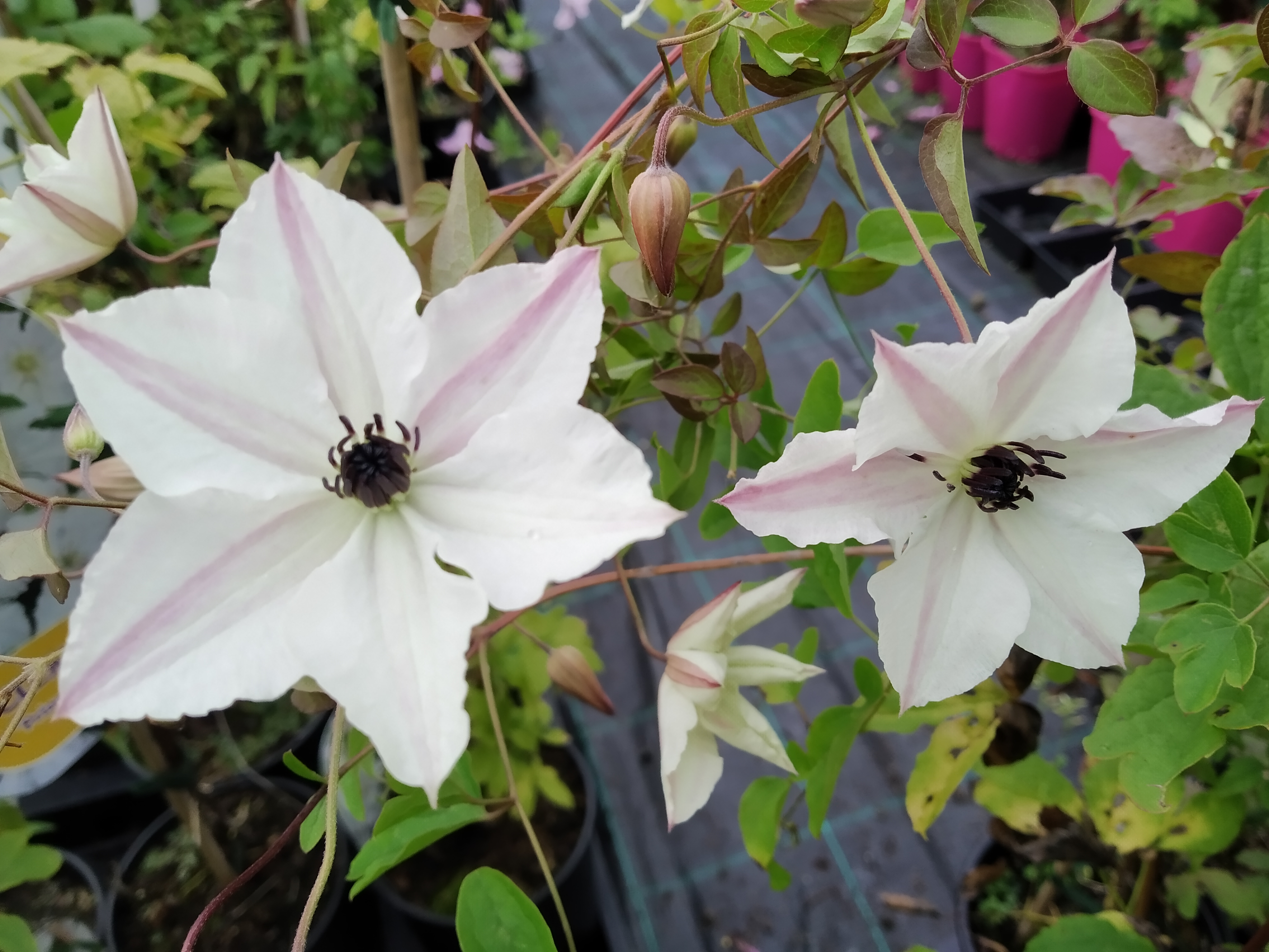 Clematis Viticella 'Sunny Side'