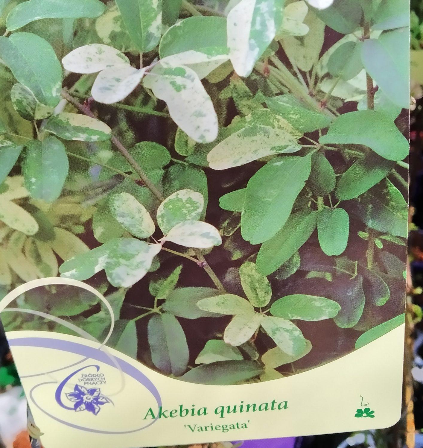 Akebia Quinata 'Variegata'
