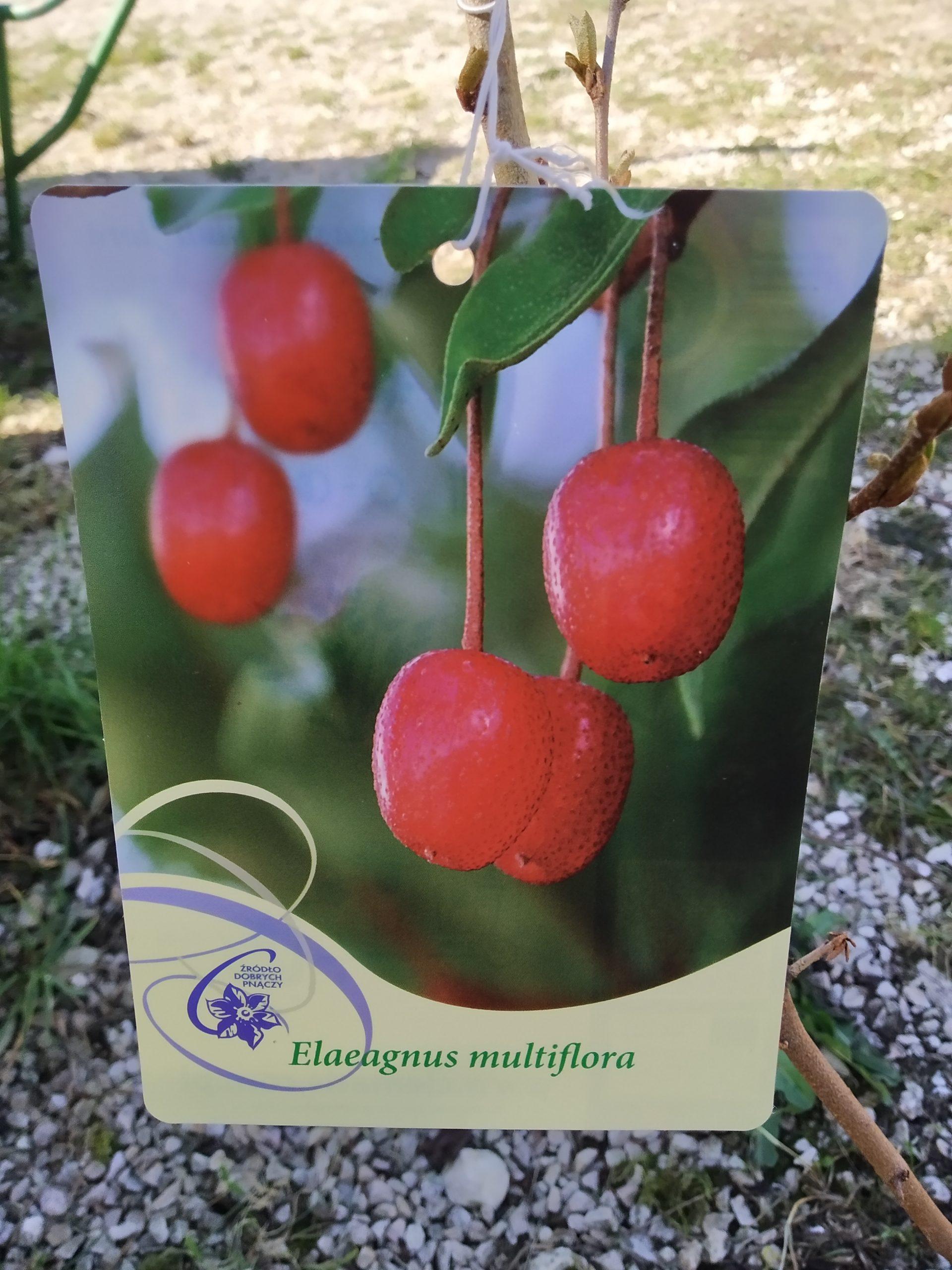 Eleagnus Multiflora – Vielblütige Ölweide