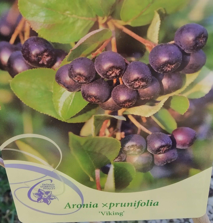 Apfelbeere 'Mitschurins Aronia'
