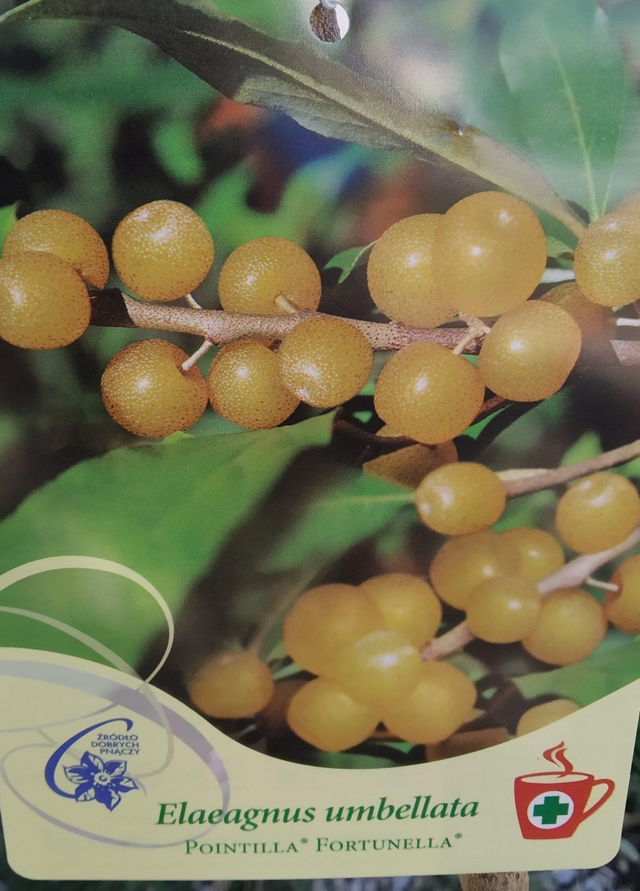 Elaeagnus Umbellata Pointilla® Fortunella® – Korallen Ölweide