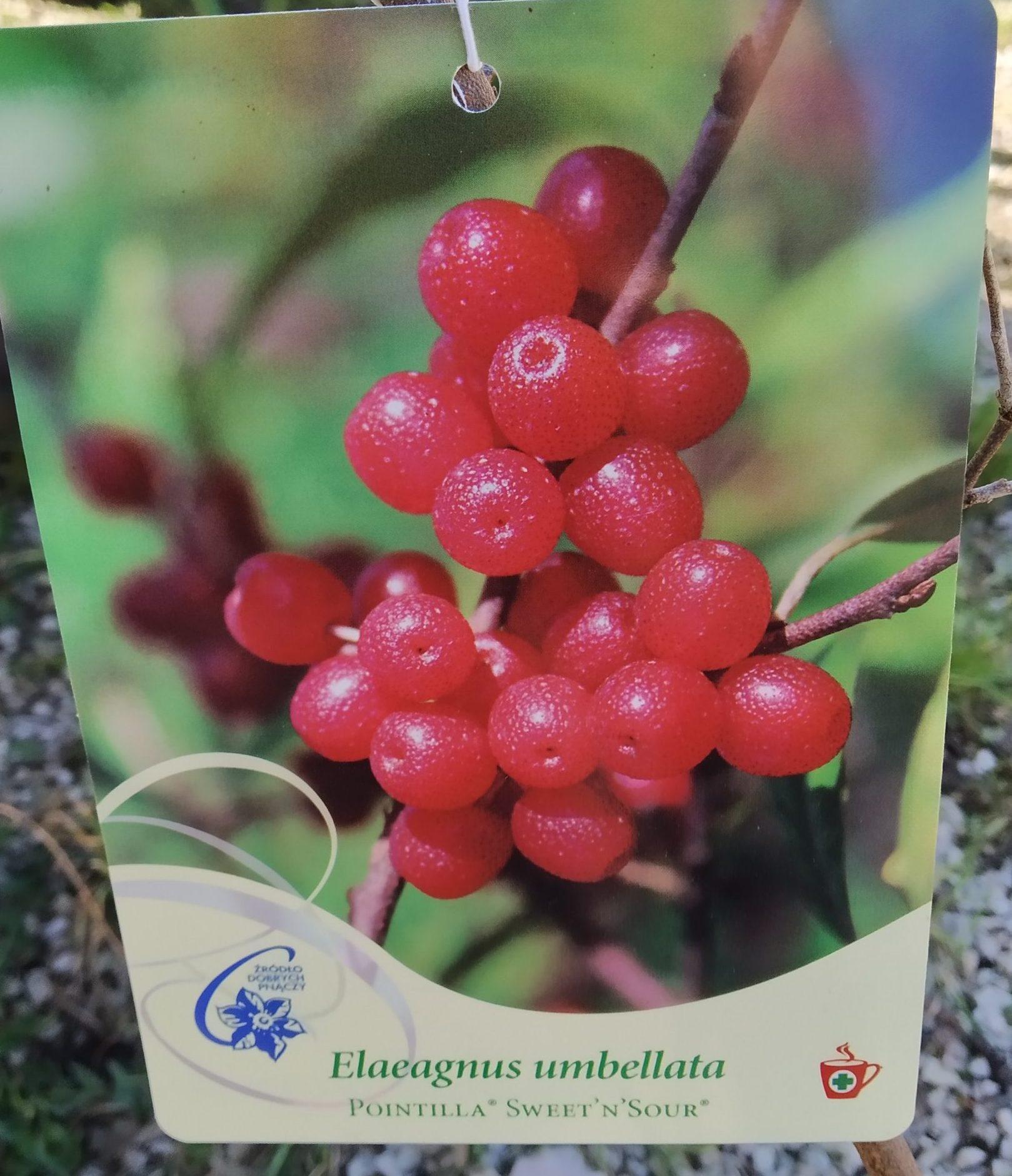 Elaeagnus Umbellata Pointilla® Sweet'n'Sour® – Korallen Ölweide