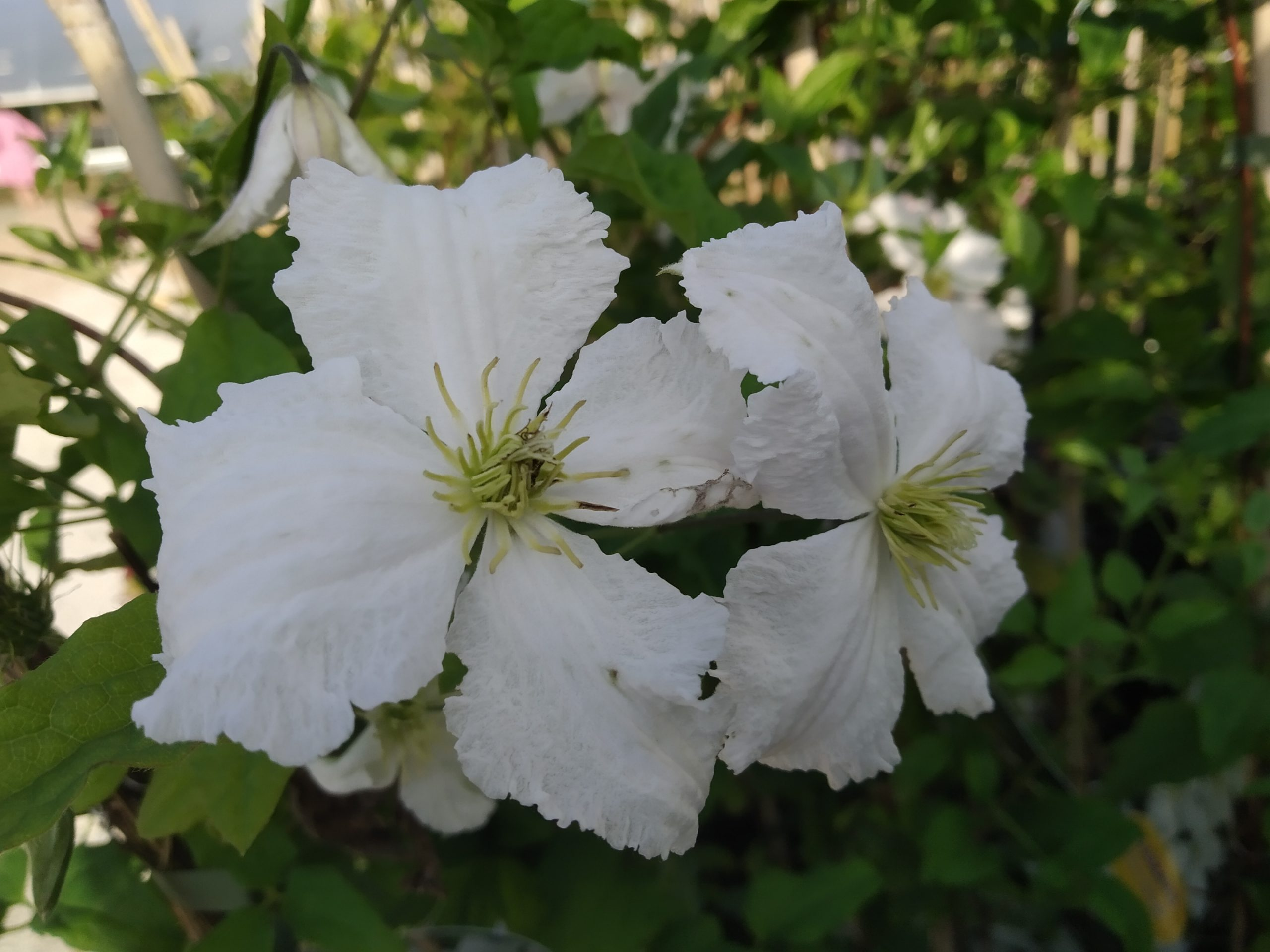 Clematis Viticella 'Prince George'