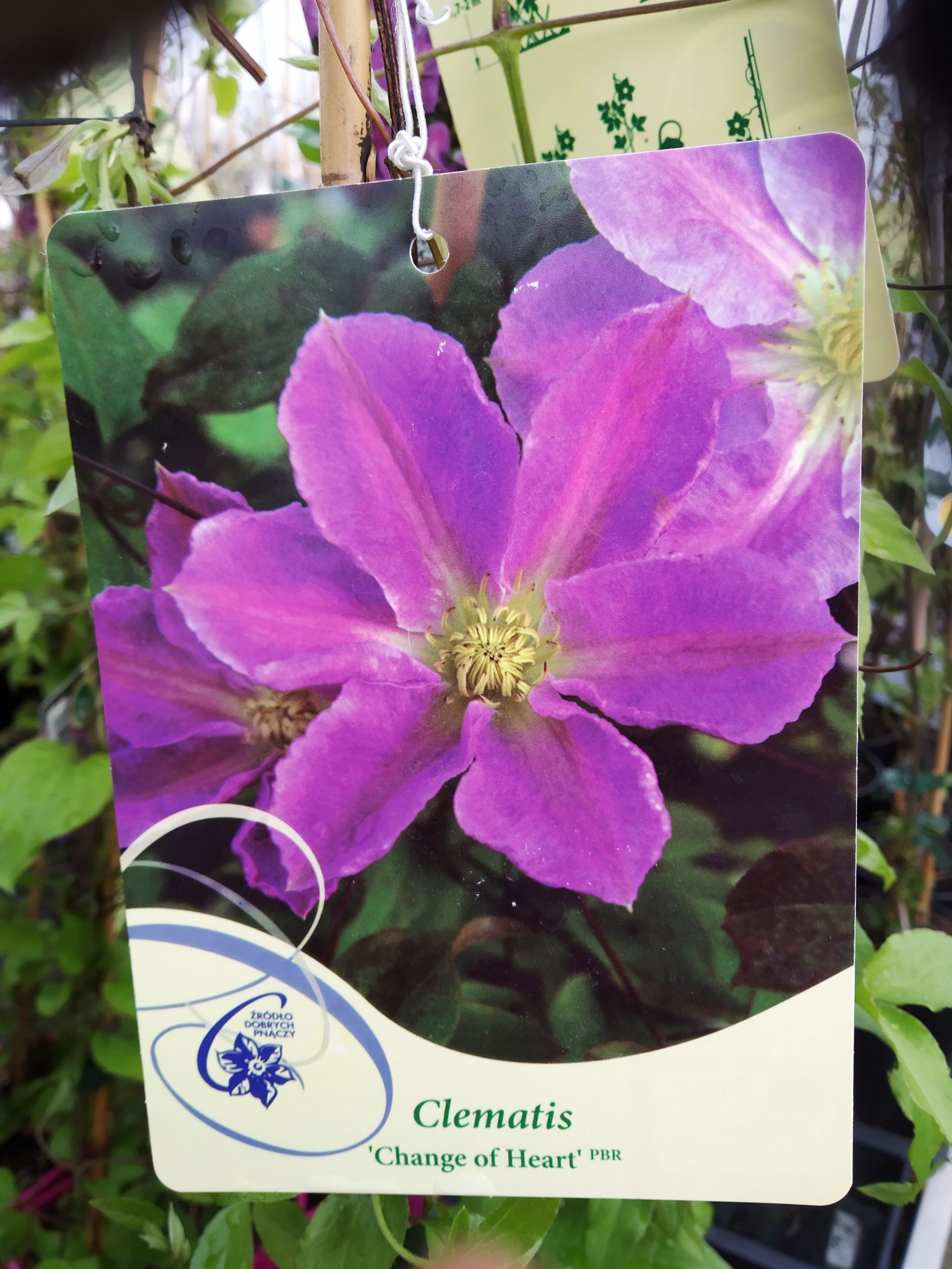 Clematis 'Change Of Heart' PBR