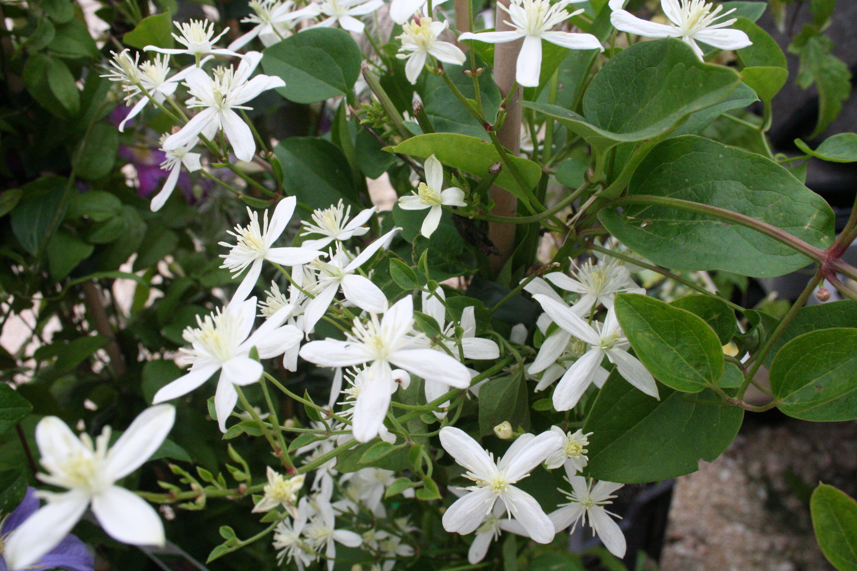 Clematis Terniflora 'Early Snow'
