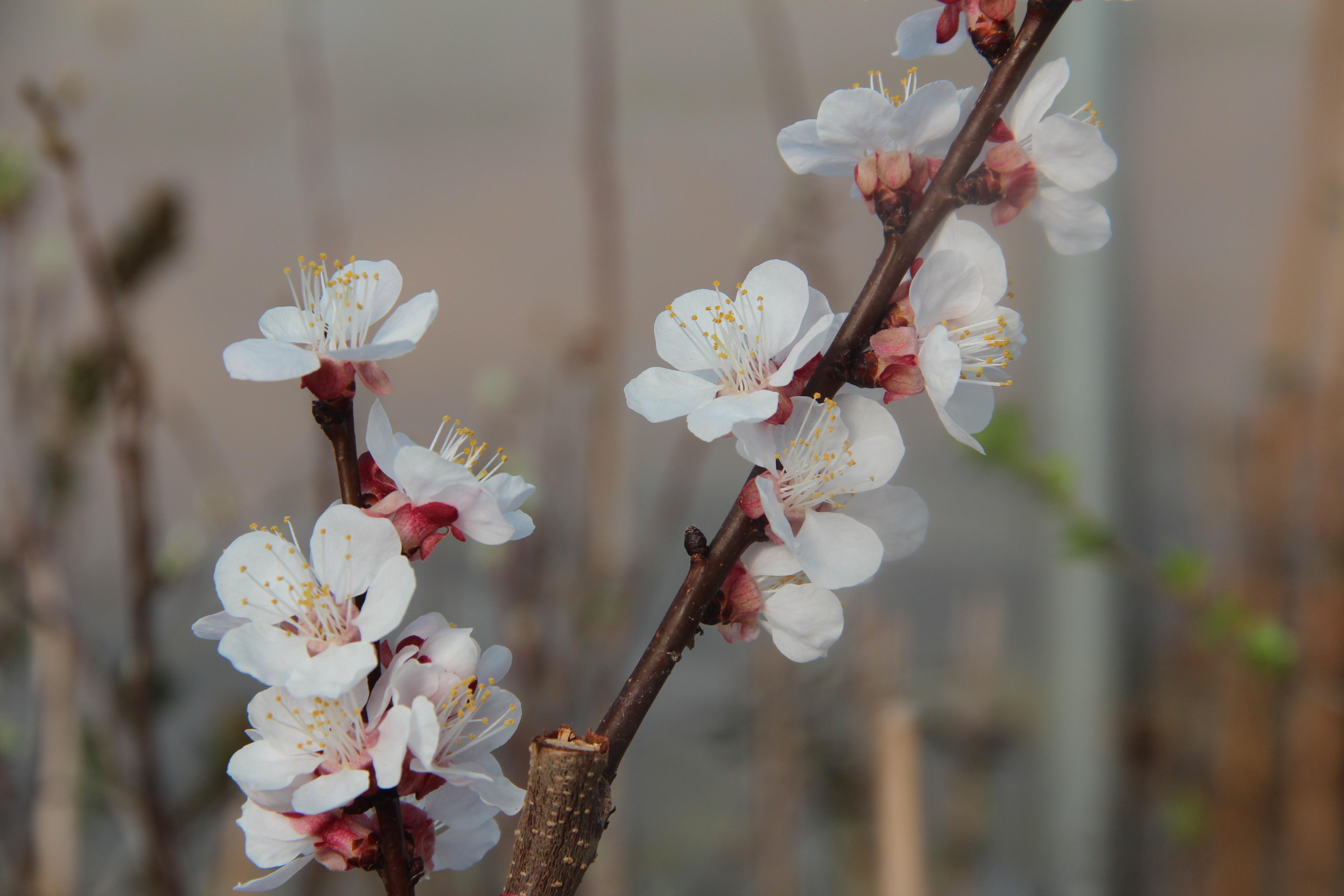 Aprikose 'Vinschger Marille'