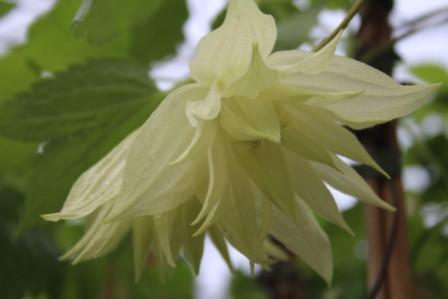 Clematis Chiisanensis 'Golden Dream'