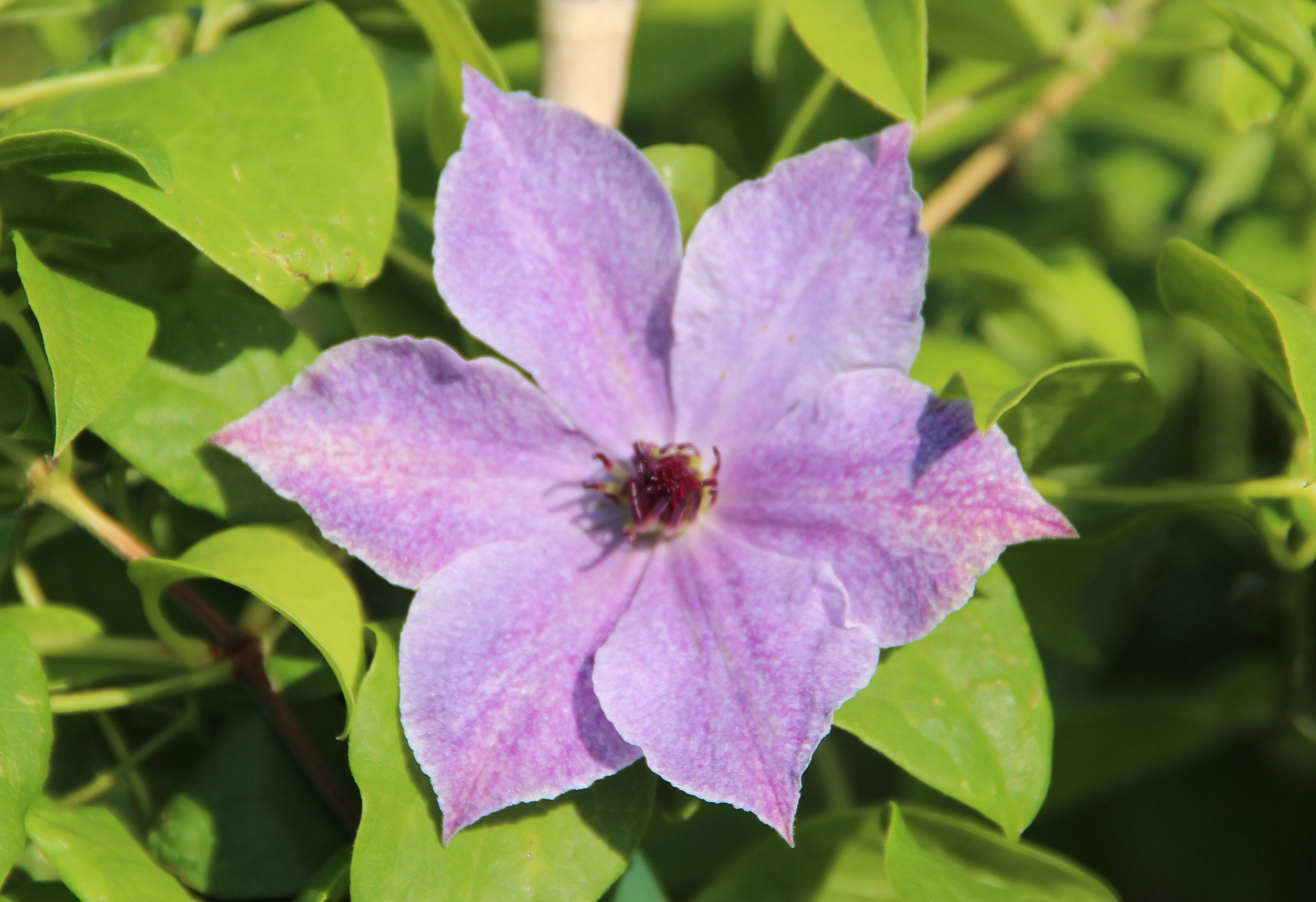 Clematis 'Skyfall' PBR