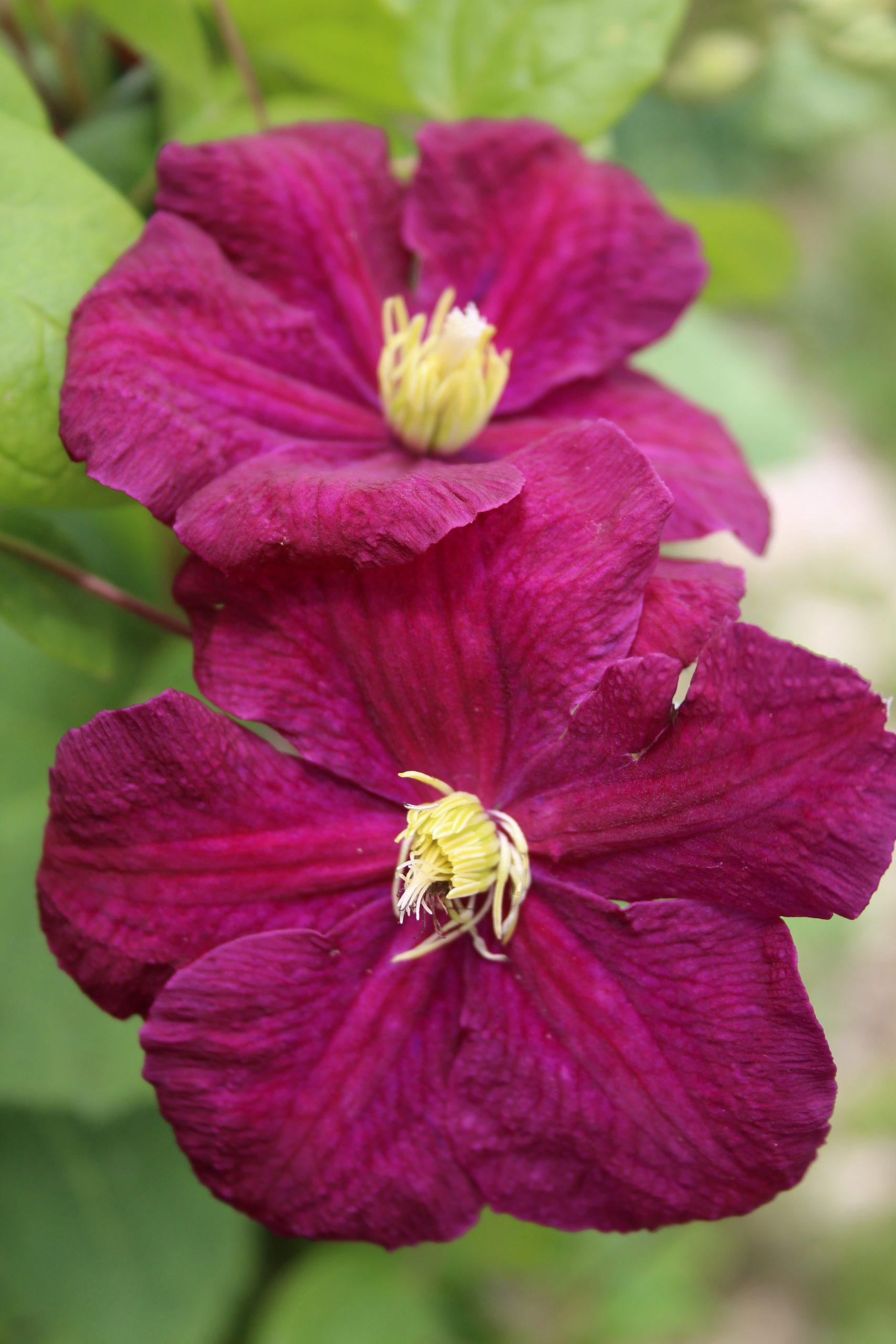 Clematis Viticella 'Slowianka'