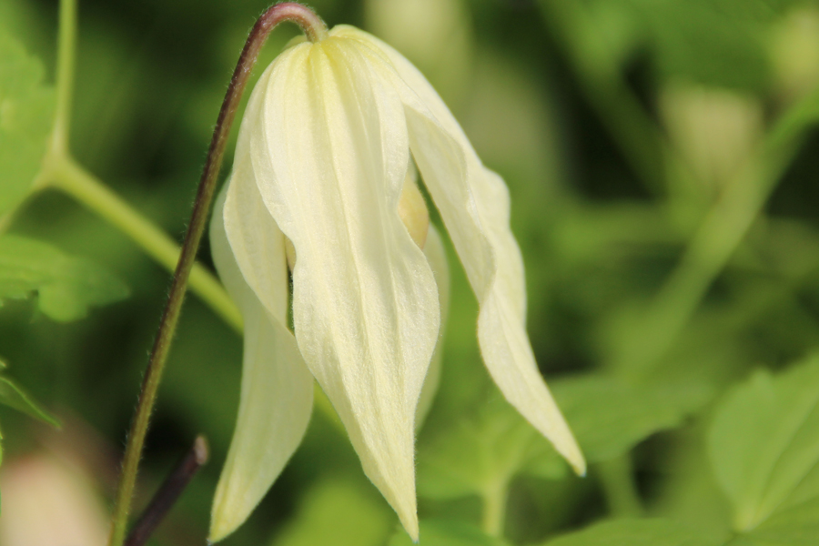 Clematis Chiisanensis 'Lemon Beauty'