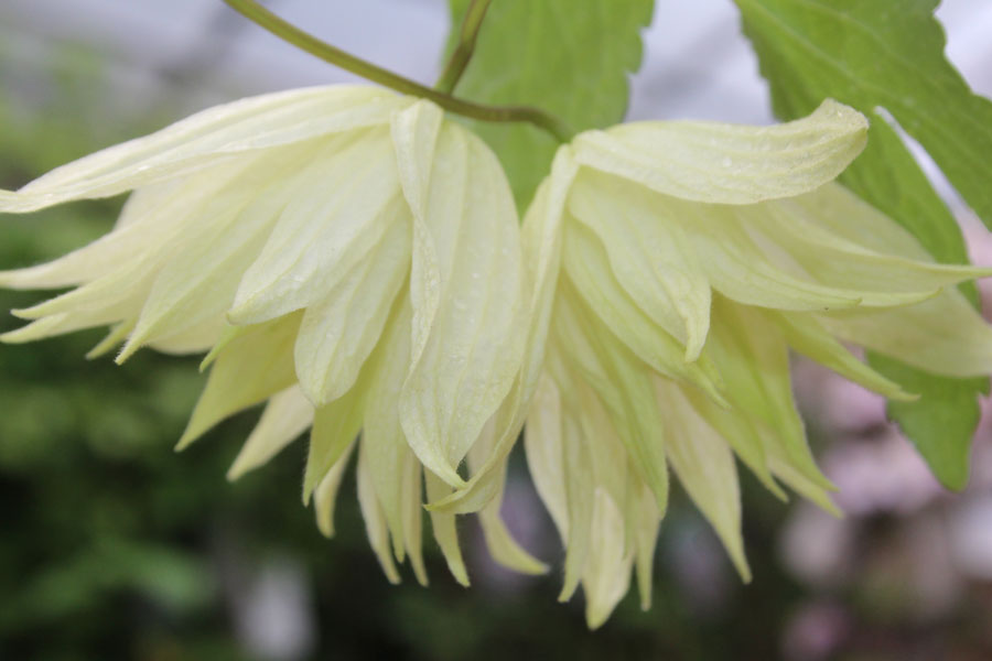 Clematis Chiisanensis 'Lemon Dream'