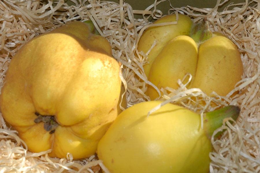 Quitte 'Multiflora Franconia'