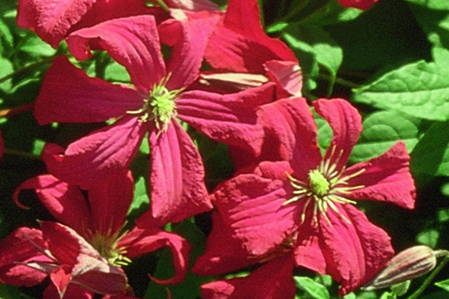 clematis viticella 39 mme julia correvon 39 clematis herian. Black Bedroom Furniture Sets. Home Design Ideas