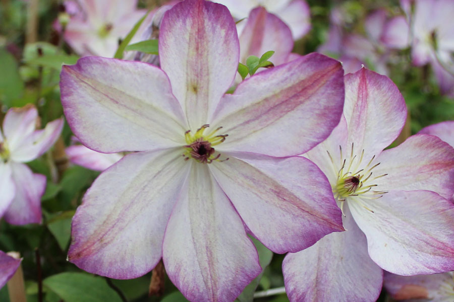 Clematis Viticella 'PERNILLE'